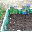 枝豆播種2回目(土中緑化)