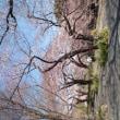 皇居北の丸の桜