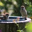 雀の水遊び