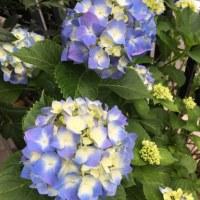庭の紫陽花が満開です