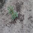 サツキ植える