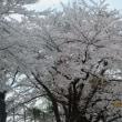 野のもの摘んで 桜のトンネル^^