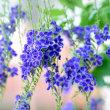 デュランダタカラヅカの花