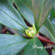 沈丁花の花芽.。.:*・゜