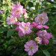 庭のばら・二番花