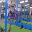 子犬との暮らし方あれこれ♪  犬のしつけ教室@アロハドギー