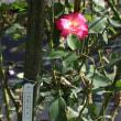 20171012 町田市秋のバラ広場 07 Carl Zeiss Distagon 35mm F2 ZE