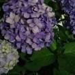 夜の紫陽花20180615