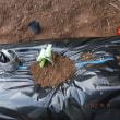 白菜とキャベツを植えました。