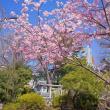 2018.03.04 渋谷区千駄ヶ谷 鳩森神社 富士塚: 寒桜満開