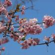 花博記念公園鶴見緑地 河津桜とおかめ桜