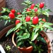 鉢植トウガラシ