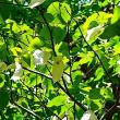 ポエム165 『さよならハンカチの木』