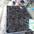 トマトの種蒔く