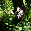 夏水仙 府立植物園