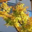 庭の手入れ二日目は、私らよか先に住みついてたヤマモミジとツバキ…。それと、キキからMaebashi Media Art Festivalのお知らせです…