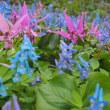 スプリングエフェメラル(春の短命植物) エゾエンゴサクにカタクリ満開