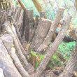 原木シイタケ収穫