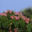 「ネム」の花が咲いていました