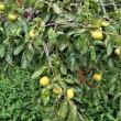 自宅前は秋本番(4) 柿の実