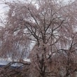★我が家のしだれ桜も満開です。