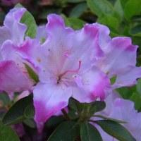 季節の花「アザレア」