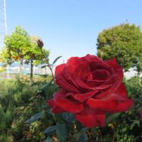 南長野運動公園の ブラック・ティー 2018 その3