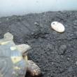 ニシヘルマンリクガメ 2年5ヵ月ぶりの産卵