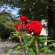 【京都園芸倶楽部Facebook】先週の植物(2017年10月8日~14日)