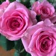 美しい薔薇・絵手紙