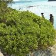 ハマジンチョウ:浜沈丁(本州唯一の自生地)