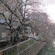 桜(堀川)