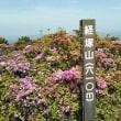 経塚山のミヤマキリシマはそろそろ終わり 新しい周遊コースを歩く