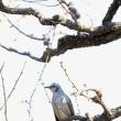 梅とヒヨドリ