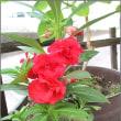 赤いホウセンカの花