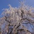 満開の「あじな桜」-その3 2018.03.26