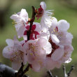 花ニラ・サンシュウ・白梅の花