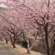 気分華やぐ河津桜
