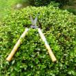 今日は、朝から庭木の剪定で苦労しました。