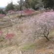 久米梅の里公園の開花状況-2
