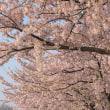 日の出と桜と鳥海山