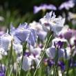 ☆小田原城祉公園の紫陽花と菖蒲...♪
