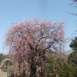 藤野園の枝垂れ梅