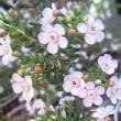マイクロワックスフラワーの花は