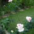 台風の被害なし バラのプリンセスドモナコ