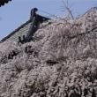 浦和玉蔵院の枝垂桜2012
