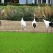 小麦畑にタンチョウ4羽