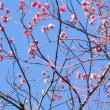 【気まぐれ写真館】 我が家の梅、満開!
