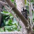 11/15探鳥記録写真-2(狩尾岬の鳥たち:ジョウビタキ、コゲラ、ミサゴ、ほか)