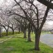 街中の桜咲く